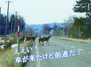 エゾシカの横断3:ええい!車が来たけど前進だ!